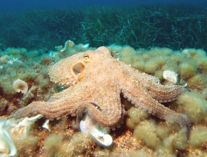 1024px-octopus2